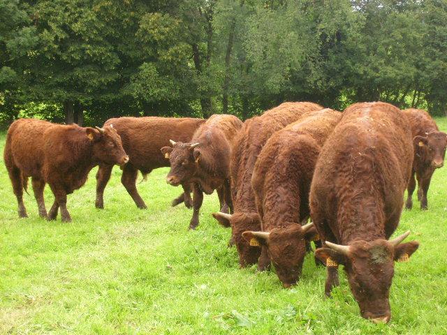 Vaches et Elevage Salers en Livradois STP62317