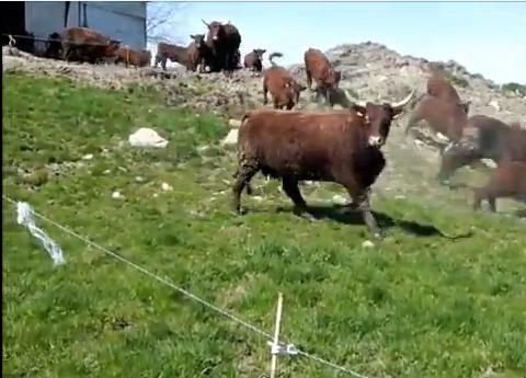 Vaches et Elevage Salers en Livradois - Page 2 Vaches_au_galop